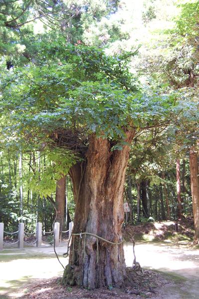 真名井の木
